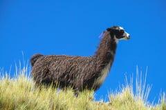 Alpaca on green mountain meadow Royalty Free Stock Photo