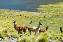 Alpaca on green mountain meadow near the lake Royalty Free Stock Image