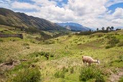 Alpaca on green mountain, South America Stock Photos