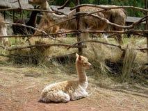 Alpaca and guanacos on llama farm in Peru Royalty Free Stock Image