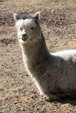 Alpaca, guanicoe f del lama Pacos es llamas nacionales de una raza Foto de archivo libre de regalías