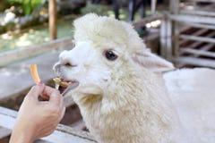 Alpaca, hands are feeding alpaca, white alpaca in farm, alpaca is animal smile and teeth funny. A alpaca, hands are feeding alpaca, white alpaca in farm, alpaca royalty free stock photography