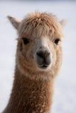 Alpaca head Stock Photo
