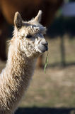 Alpaca head Stock Photo