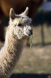 Alpaca head. Alpaca farm in North America Stock Photo