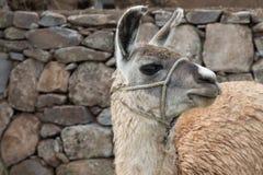 Alpaca head. Close up of alpaca head Royalty Free Stock Photography