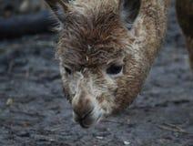 Alpaca head. Alpaca eating fruit. Foto taken in landgoed hoenderdaell zoo Royalty Free Stock Photos