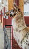 Alpaca Head Shot 2 Royalty Free Stock Photos