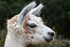 Alpaca. Head shot in profile of a white alpaca with brown or tan markings Stock Photo