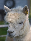 Alpaca Headshot Stock Photos