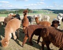 Alpaca Herd Stock Image