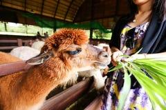Alpaca in het landbouwbedrijf Royalty-vrije Stock Foto