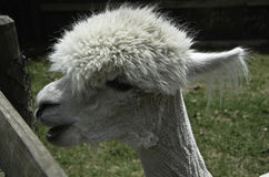 Alpaca het spreken Stock Fotografie