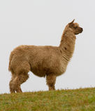 An Alpaca on the hill. An Alpaca in profile on the hill Stock Images