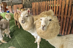 Alpaca and his pals in open zoo, staring at camera Stock Photos