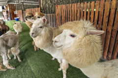 Alpaca and his pals in zoo, freely walk Stock Photography