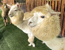 Alpaca and his pals in zoo, freely walk Stock Images