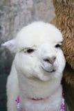 Alpaca i daliporslin Arkivbilder