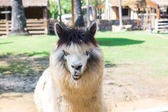 Alpaca i den Thailand lantgården Fotografering för Bildbyråer