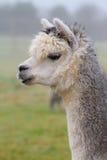 Alpaca i profil Royaltyfri Foto