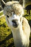 Alpaca i slut upp på solig dag på jordbruksmark Arkivbild
