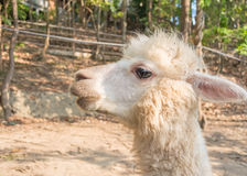 Alpaca Royalty Free Stock Photos