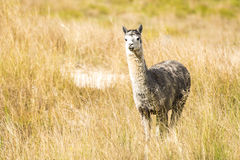 Alpaca by itself in a field Royalty Free Stock Photography