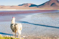 Alpaca on the Laguna Colorada, Altiplano, Bolivia. Royalty Free Stock Photography