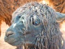 Alpaca, Lama, Animal, Furry, Fluffy Royalty Free Stock Photo