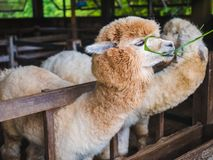 Alpaca lama close up portrait white and brown of cute friendly feeding in farm chewing glass. royalty free stock photography
