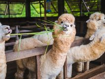 Alpaca lama close up portrait white and brown of cute friendly feeding in farm chewing glass. royalty free stock images