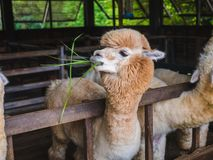 Alpaca lama close up portrait white and brown of cute friendly feeding in farm chewing glass. stock photography
