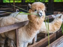 Alpaca lama close up portrait white and brown of cute friendly feeding in farm chewing glass. royalty free stock photo