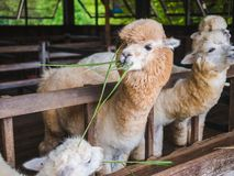 Alpaca lama close up portrait white and brown of cute friendly feeding in farm chewing glass. stock image