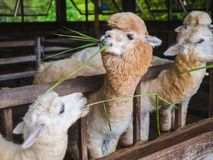 Alpaca lama close up portrait white and brown of cute friendly feeding in farm chewing glass. stock photo