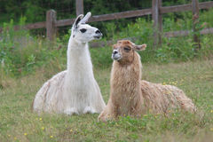 Alpaca lama lying down in field meadow farm agriculture livestock mammal Stock Image