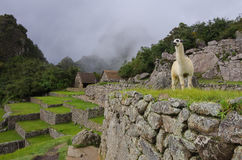 Alpaca  lama  in  Machu Picchu, Peru, UNESCO World Heritage Si Royalty Free Stock Photography