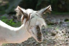 Alpaca (Lama pacos). Head portrait of alpaca (Lama pacos Royalty Free Stock Photos
