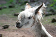 Alpaca (Lama pacos). Head portrait of alpaca (Lama pacos Stock Photography