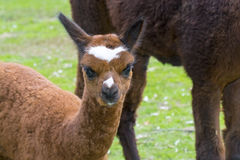 Alpaca (Lama pacos) cria Royalty Free Stock Photos