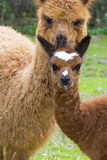Alpaca (Lama pacos) cria Stock Photography