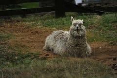 Alpaca Stock Photos