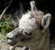 Alpaca 8 Stock Photos