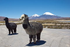Alpaca. In Lauca National Park, northern Chile.  are domesticated animals kept for their fine wool and meat. In the background are the volcanoes Parinacota ( Stock Image