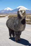 Alpaca. In Lauca National Park, northern Chile.  are domesticated animals kept for their fine wool and meat. In the background are the volcanoes Parinacota ( Stock Images