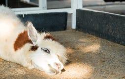 Alpaca ligger ner på golv royaltyfri bild