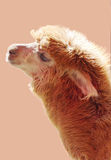 Alpaca on light color background Royalty Free Stock Image