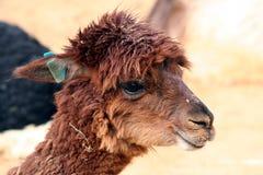Alpaca linda fotografía de archivo libre de regalías