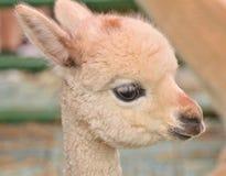 Alpaca linda del bebé Foto de archivo