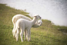 Alpaca litter Stock Photo